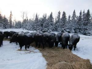 cows-300x225